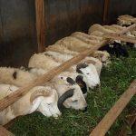 trainning Budidaya Peternakan Domba Garut